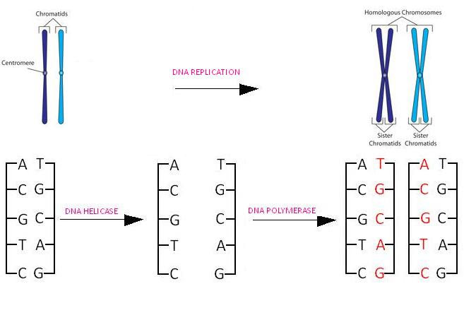 Dna Part Two Dna Replication 11 Atar Human Biology