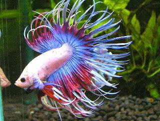 Memelihara Ikan Cupang Hias