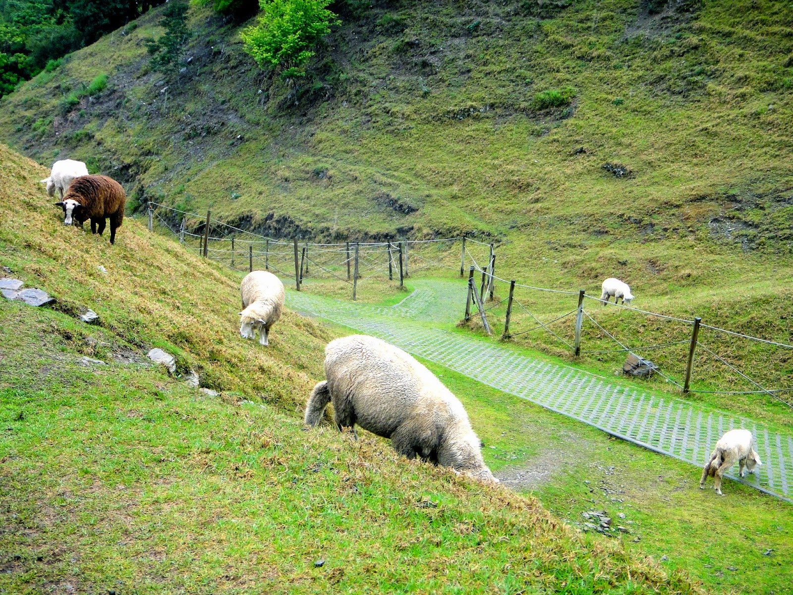 Lambs at Green Green Grassland Cingjing Farm