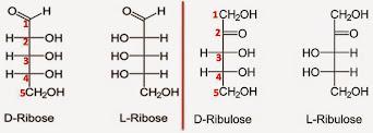 Ribose vs Ribulose