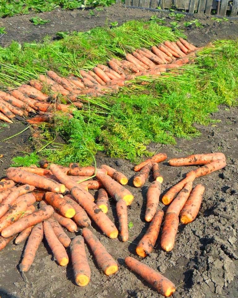 обрезка морковки