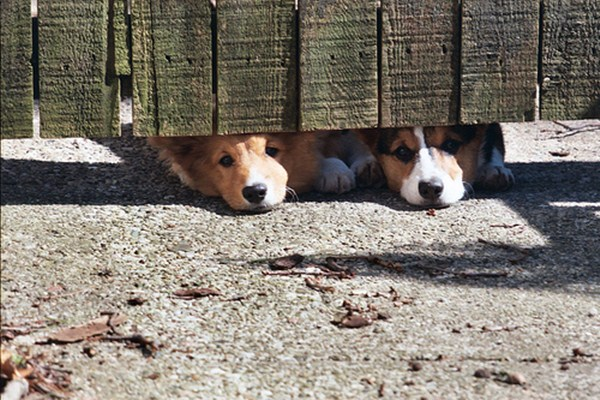 funny animal pictures, two dogs under the fence