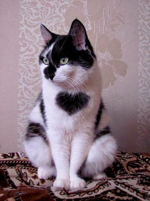 Gato, coração