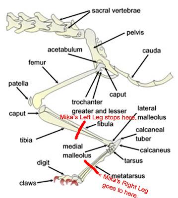 Cat Leg Bones Chart showing Mika's Back Legs