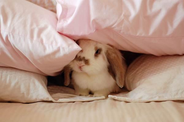 arnab-comel-menyorok-bawah-selimut