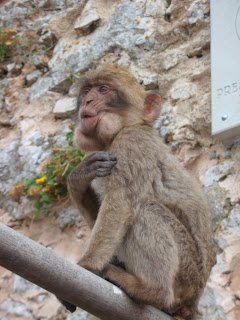 Barbary macaque in Gibraltar