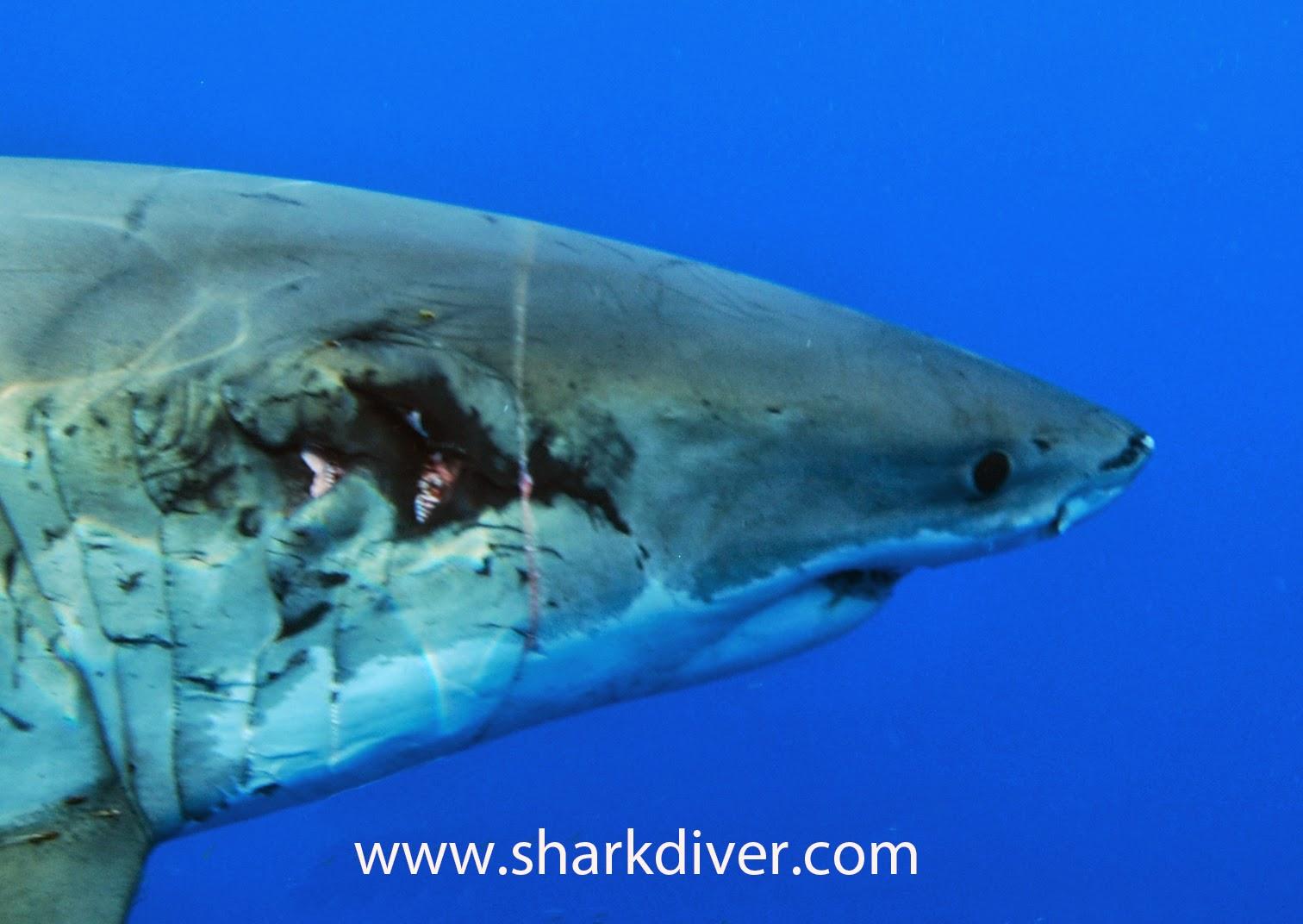 tiger shark bites
