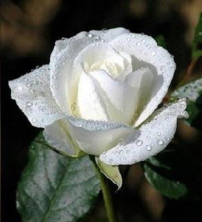 Rosa blanca Rosas silvestres