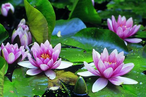 Arte y jardiner a plantas acu ticas for Plantas ornamentales wikipedia