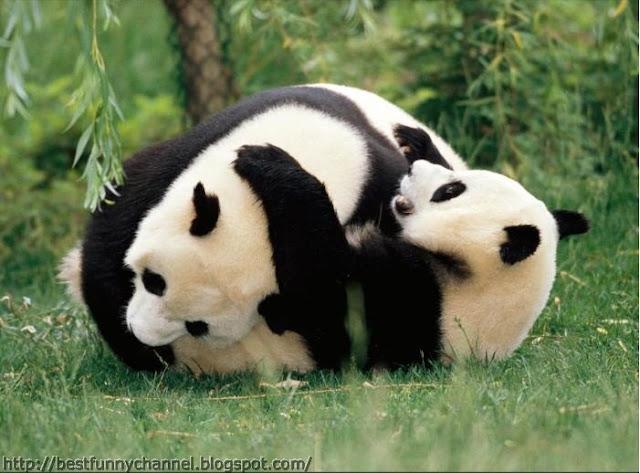 panda bears pictures 13