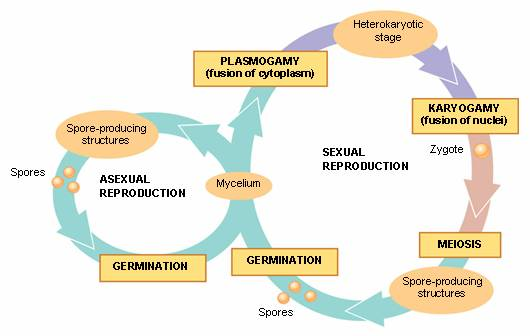 Zygomycota asexual reproduction in humans