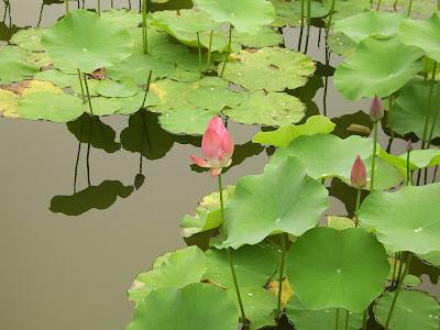 Lotus (Nelumbo Nucifera) Overview, Health Benefits, Side effects