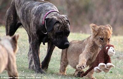 Anjing Jadi Ibu Kepada Anak Singa