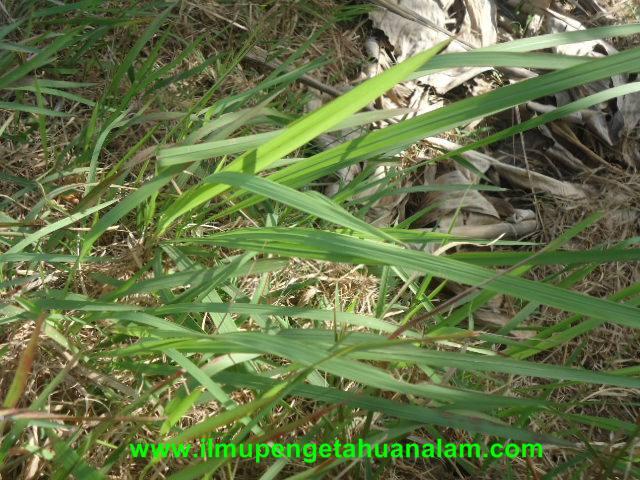 Contoh Tulang daun Sejajar