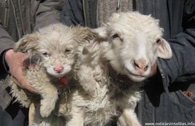 oveja da a luz un perro