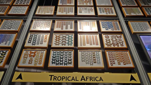 Schmetterlinge Sammlung Afrika