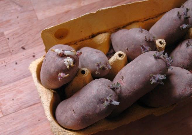 Förgrodda potatisar i en äggkartong