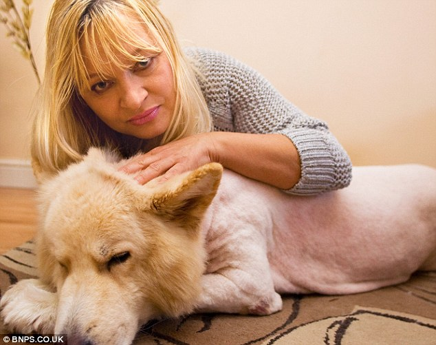 German Shepherd Lion Cut Sad: mrs ghuman says simba has