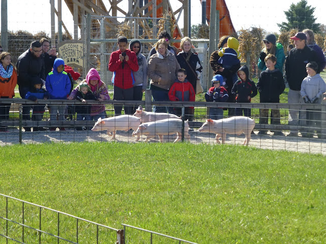 Swine Derby. Goebbert's Farm.