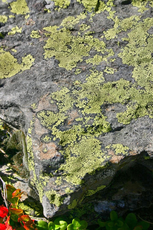 http://fr.wikipedia.org/wiki/Lichen