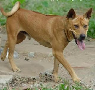 Giống chó Bắc Hà có nguồn gốc tại Việt Nam.