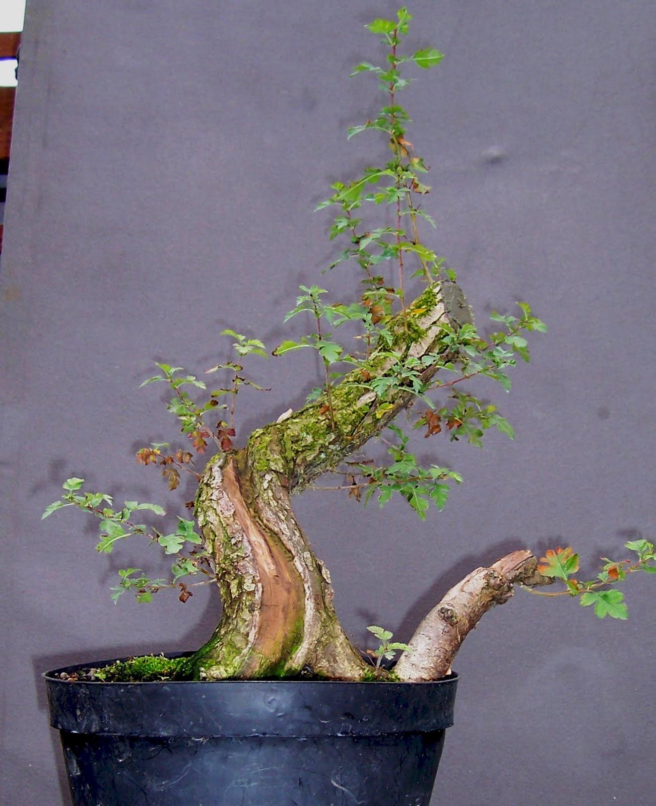 MiKo Bonsai Yamadori Hawthorn