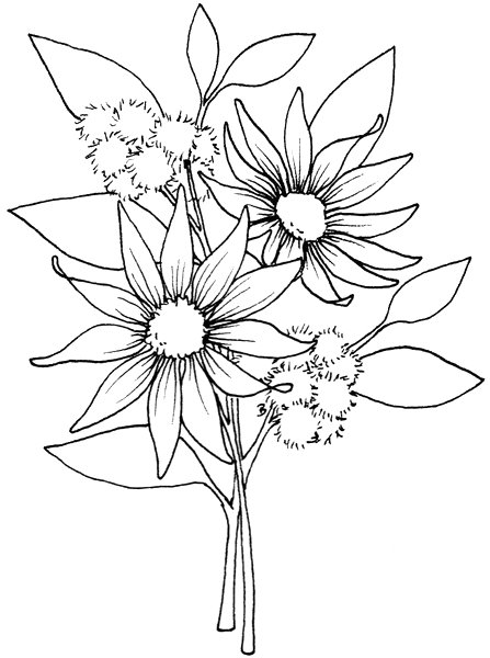 Australian Flowers Drawing Native Australian Plants