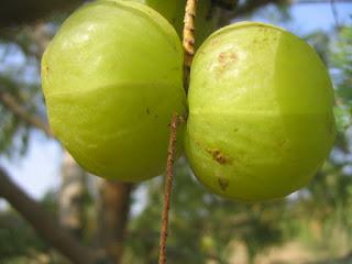 Buah Malaka Cara membuat manisan buah malaka