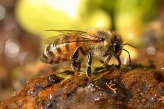 honingbij op Propolis tegen ontstekingen kopen bij imker antibacterieel