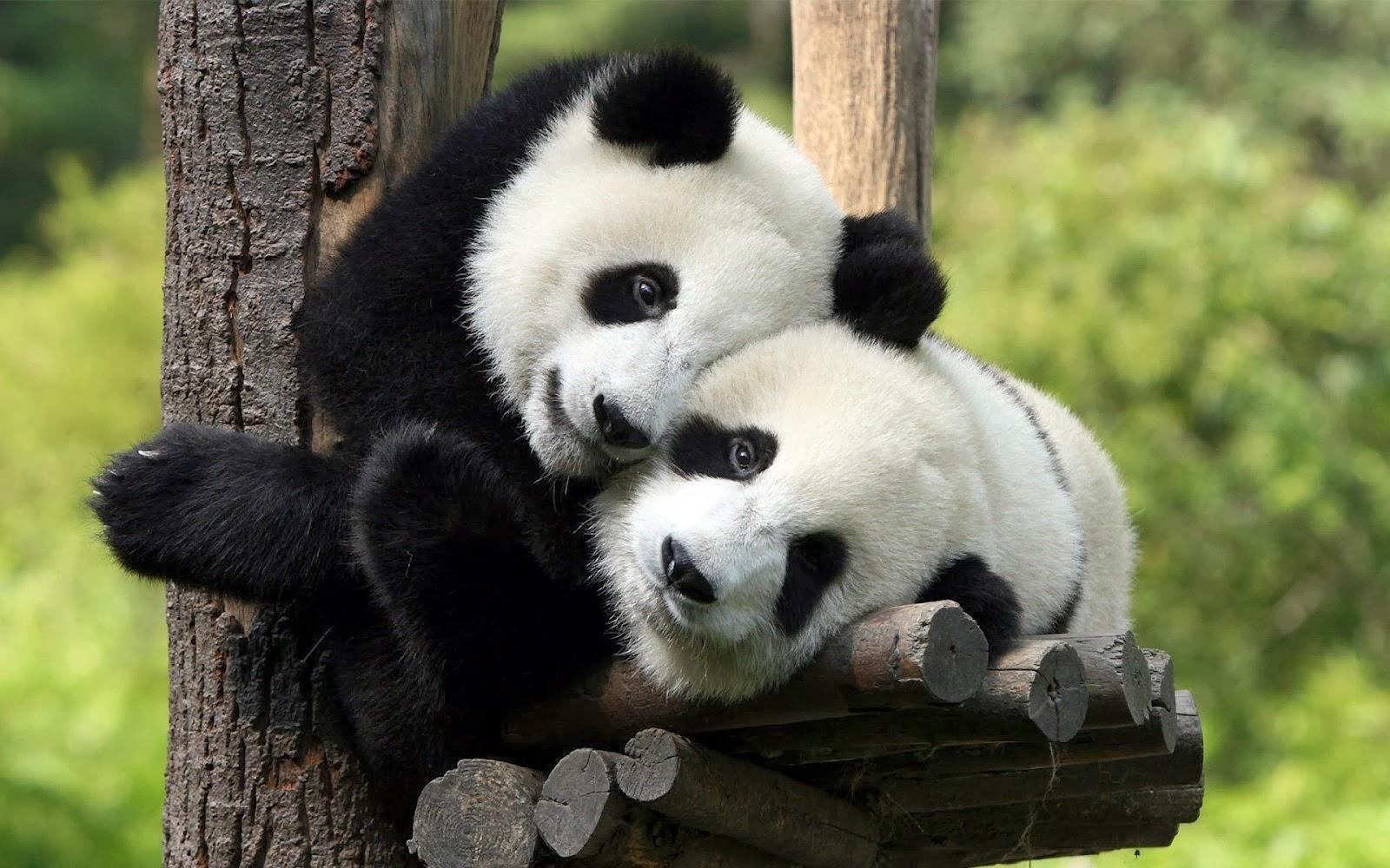 Panda Hd Wallpapers Best Wallpapers Pics Free Download