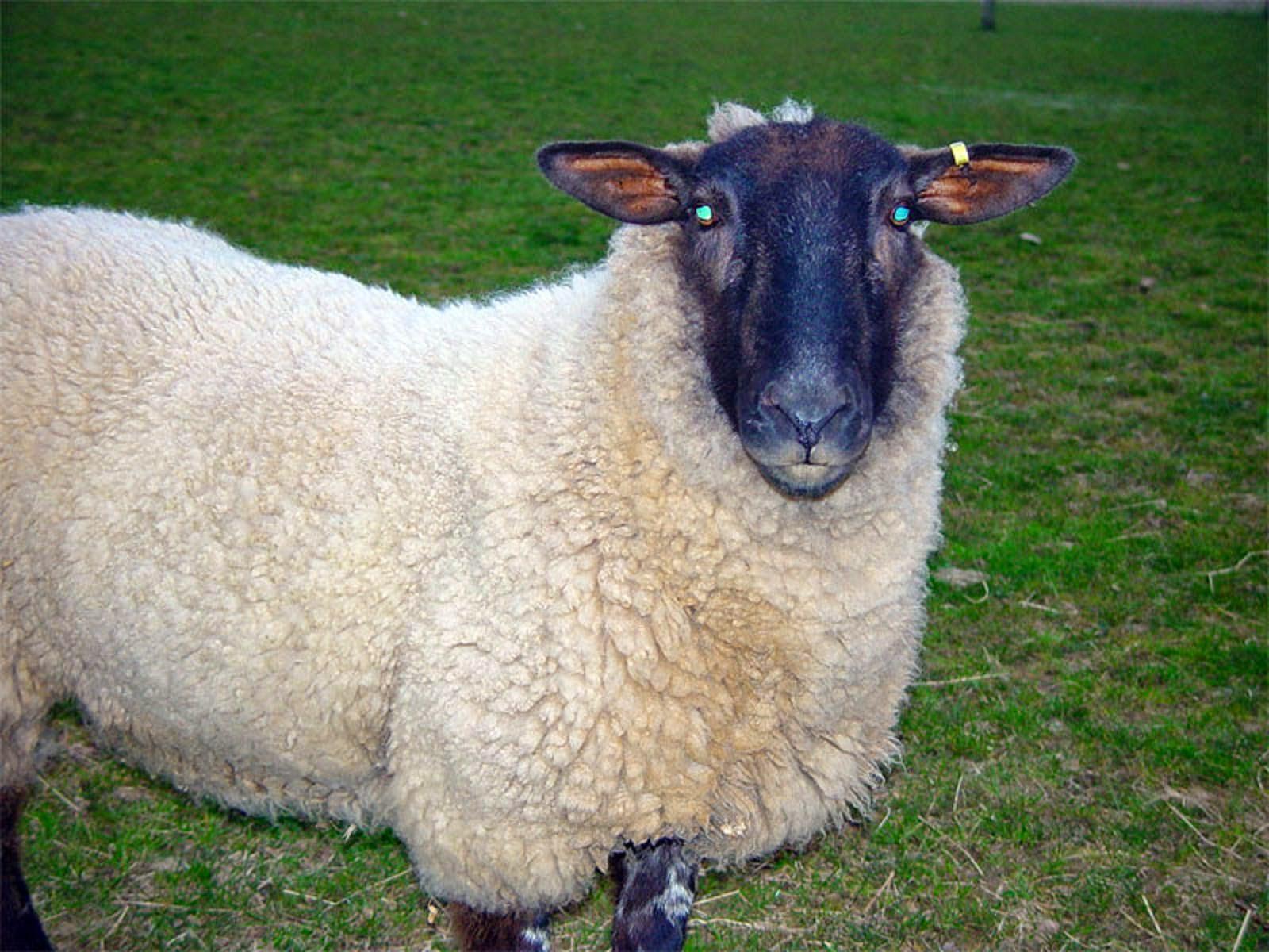 qurbani sheep - photo #2