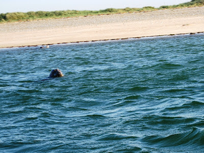 Head of a seal in the sea with the shore not far behind