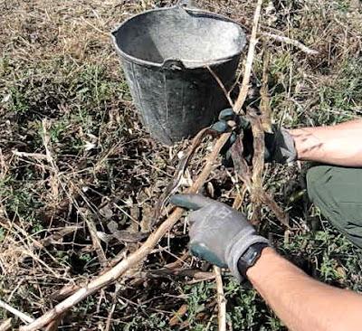 El cultivo de habas