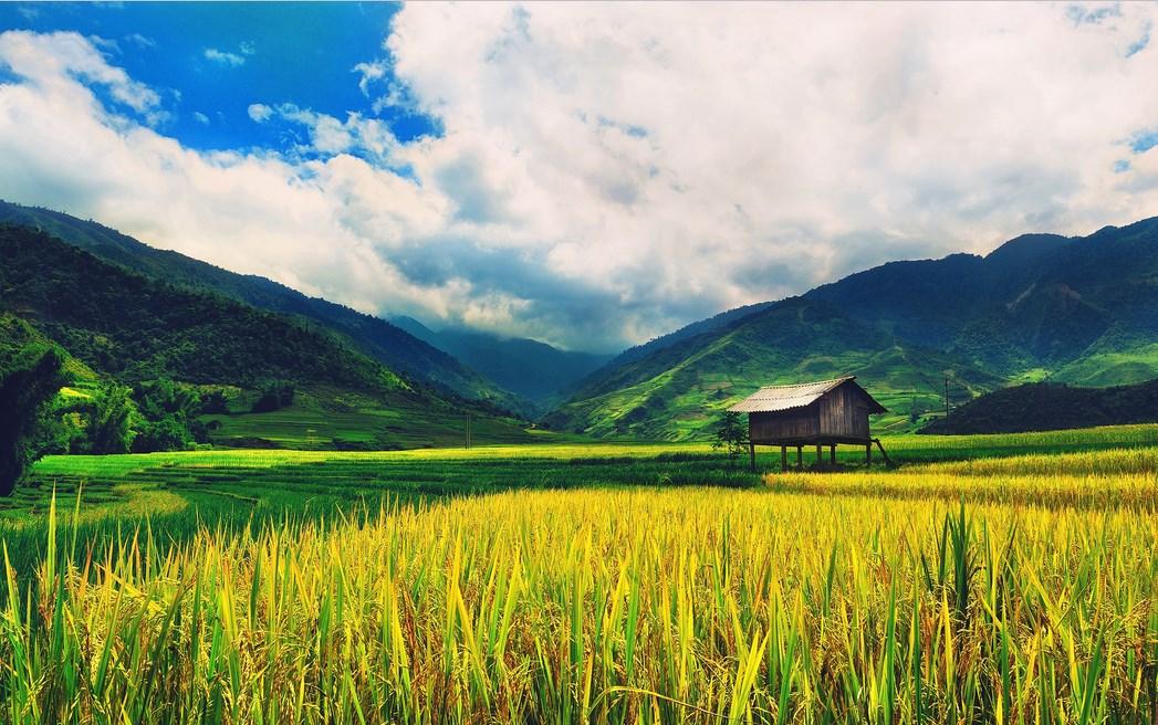 Fotografi Landscape dengan tema Sawah Tropis di Katulistiwa sawah kuning cantik