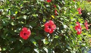 Hibiscus Growing In Garden Courtyard