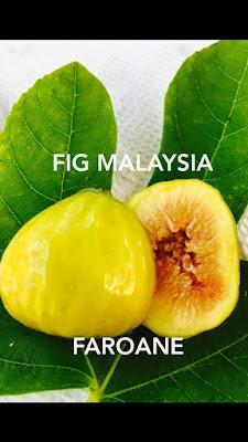 pokok tin malaysia Faroane