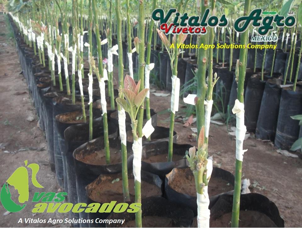 Viveros de aguacate hass for Viveros en colombia
