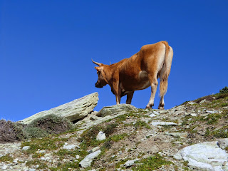 Cows roaming free on Sentier des Douaniers in Cap Corse