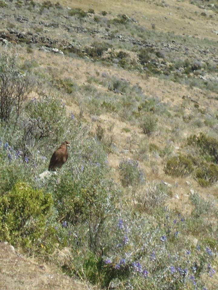 Águila en Poquian