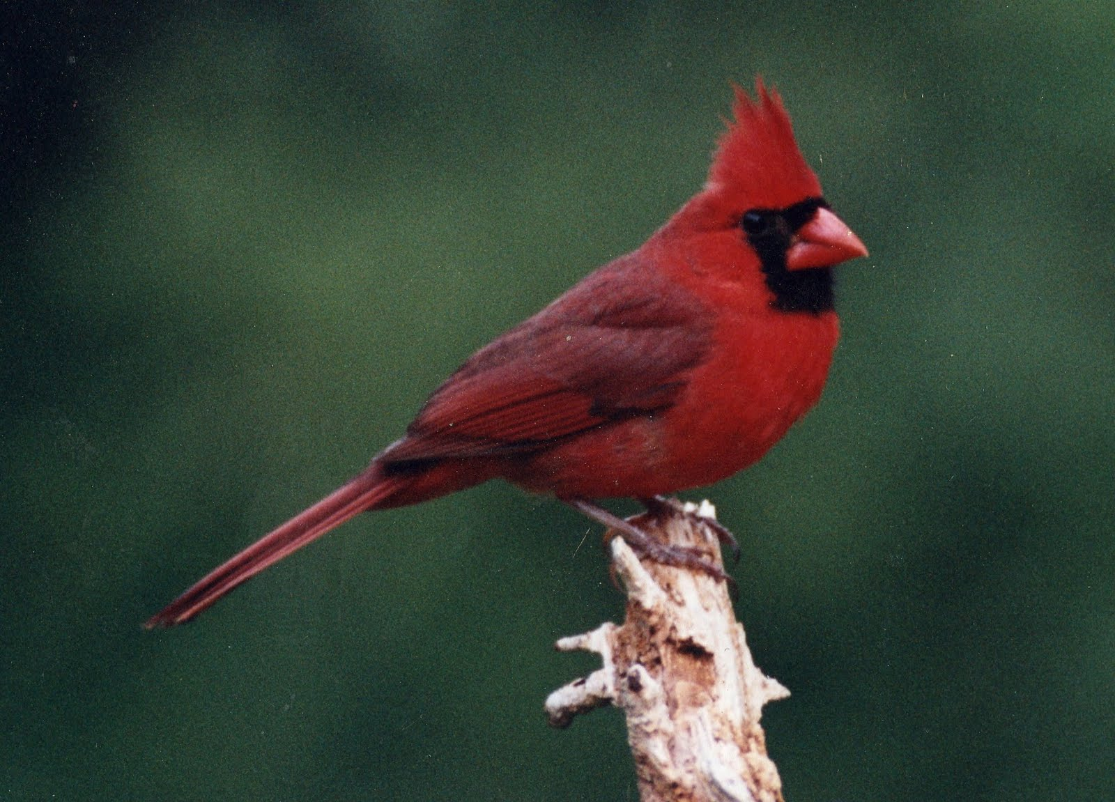 cardinal birds Cardinals, in the family cardinalidae, are passerine birds found in north and  south america they are also known as cardinal-grosbeaks and cardinal- buntings.