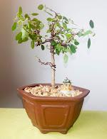 Ficus Burt Daveyii