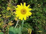 The Sunflower: