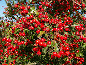 Homeopathic remedy  Hawthorn (Crataegus oxyacantha)