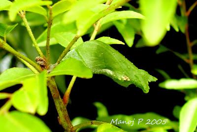 Caterpillar of Common Mormon Butterfly