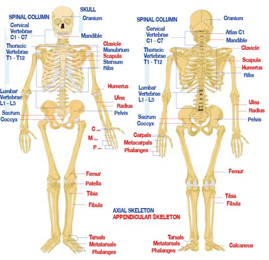 of the Human Skeleton