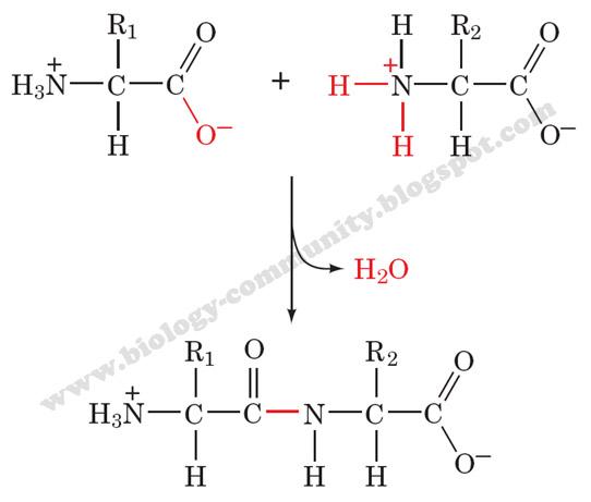 steroid memiliki rantai hidrokarbon berbentuk