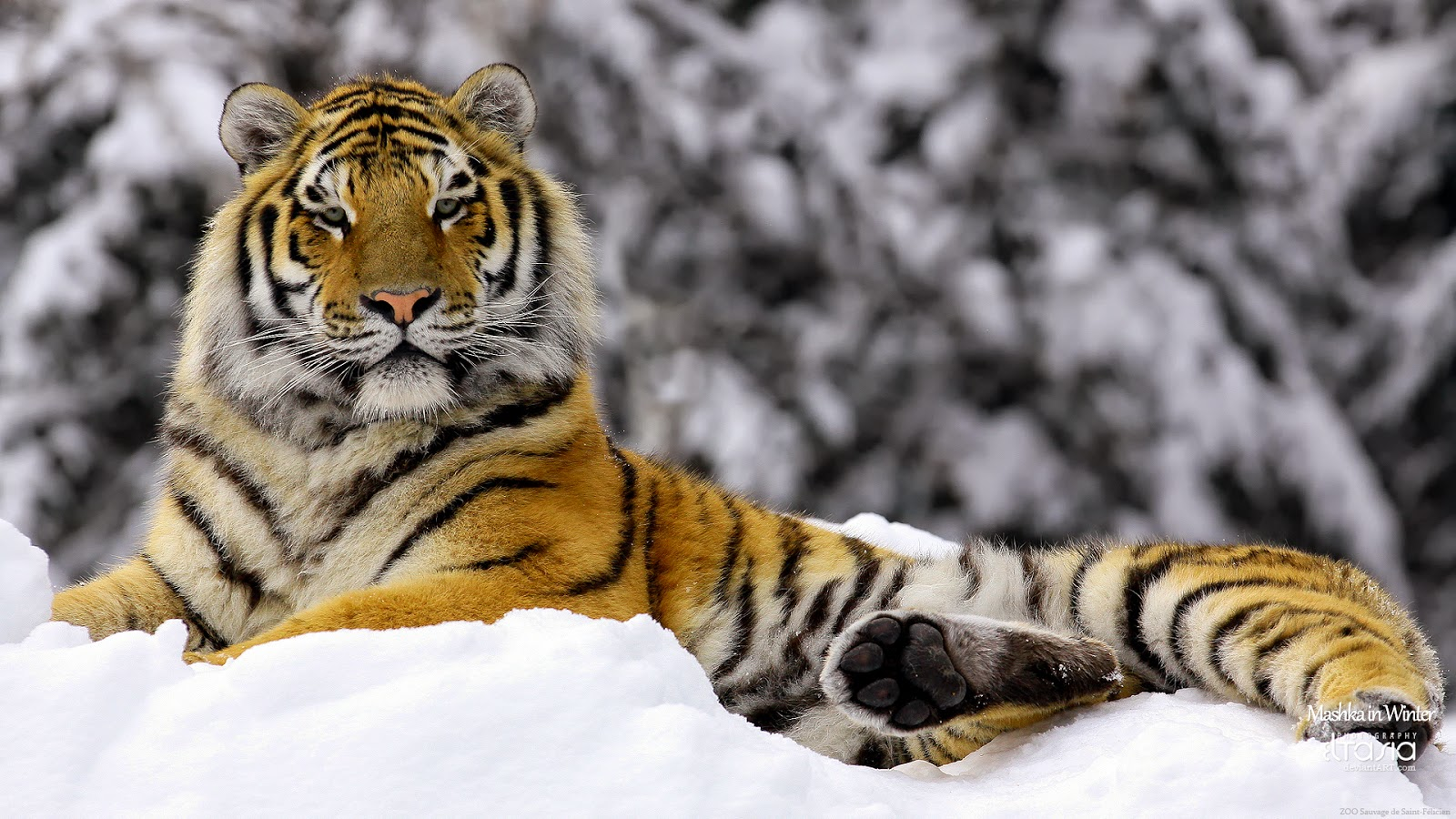 tiger in winter HD
