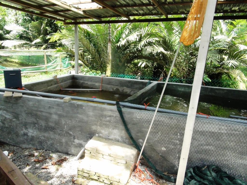 Malaysia japanese koi farm mrkoi farm koi hotel for Salt in koi pond