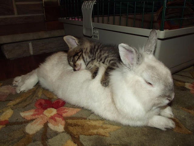 Kitten and rabbit napping together, cute animal pictures, animal photos, cute animals