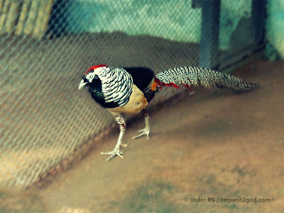 colorful long tail of lady Amherst's Pheasant